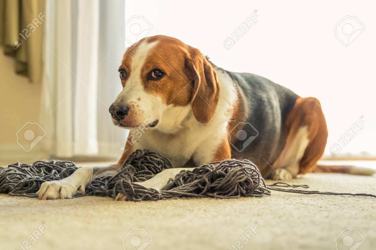 An Adorable Beagle Dog Mix Is Laying On A Big Tangled Mess Of Stock Photo Picture And Royalty Free Image Image 115211121