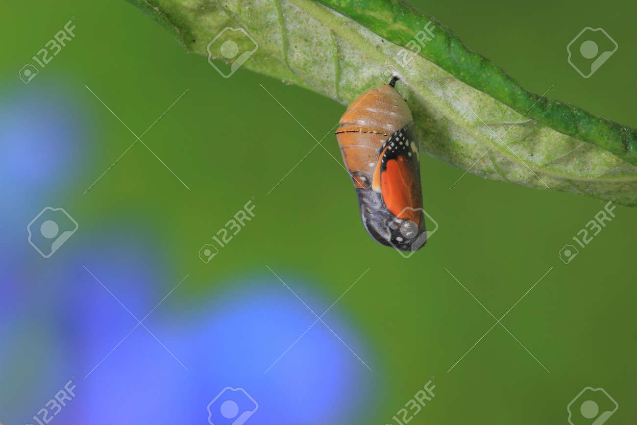 amazing moment about butterfly change form chrysalis Stock Photo - 10793913