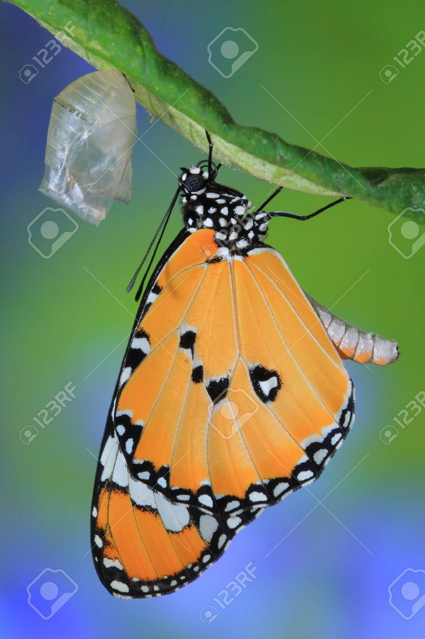 amazing moment about butterfly change form chrysalis - 10798099