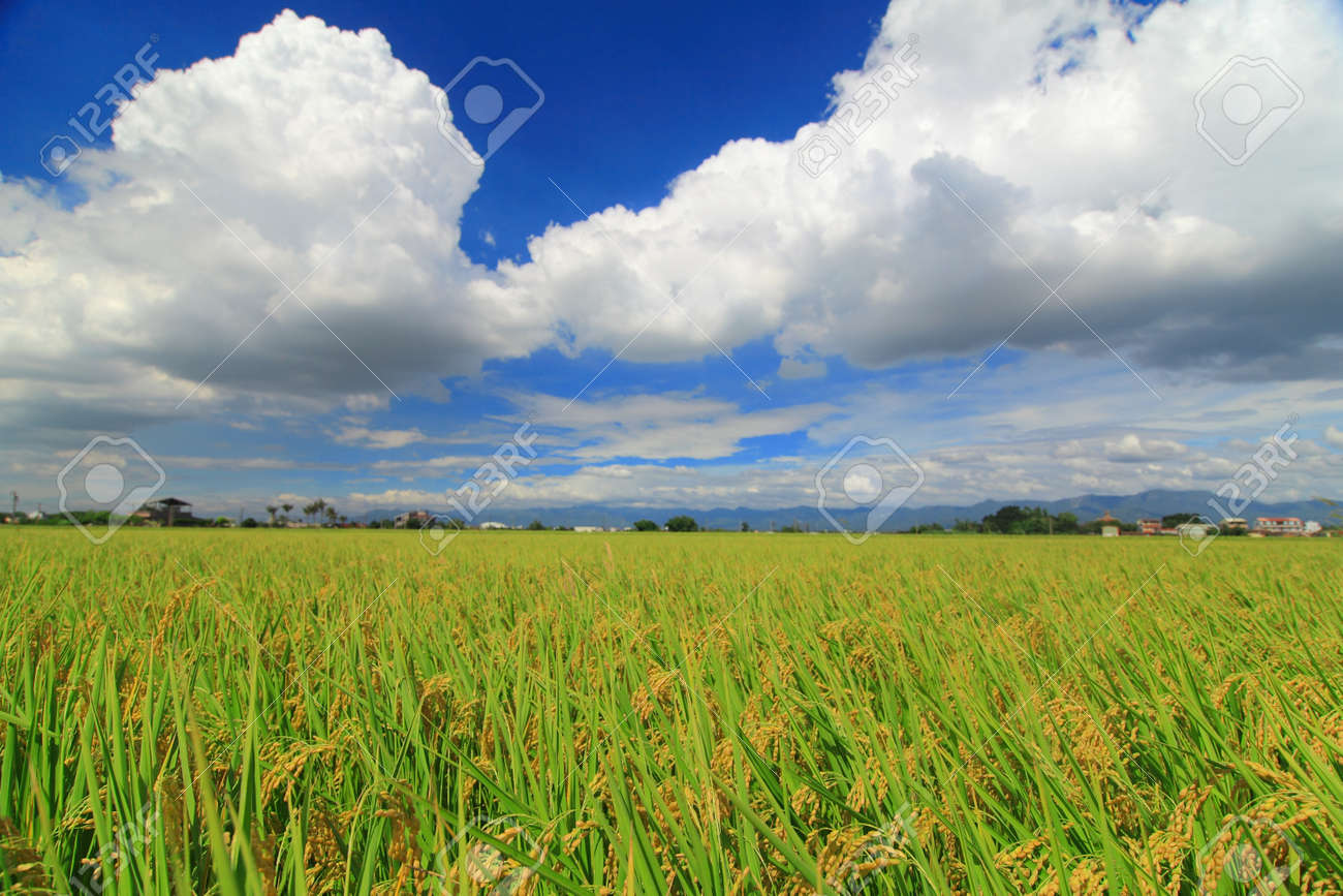 sunny day with sea of paddy and grass Stock Photo - 10778930