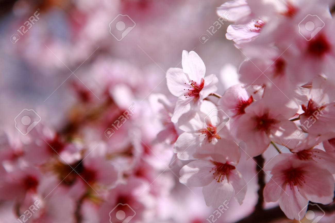 Beautiful pink cherry blossom shot in japan Stock Photo - 11720522