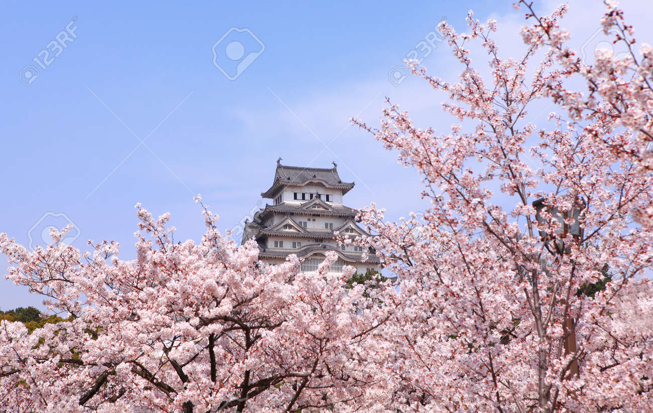 Japanese castle and Beautiful pink cherry blossom shot in japan Stock Photo - 11810329