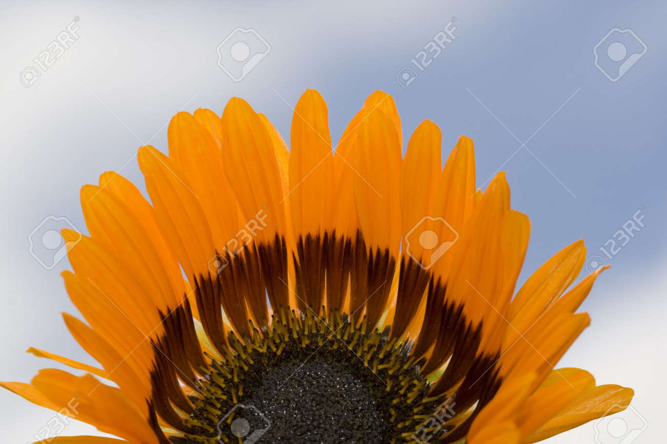 Fresh Beautiful Orange Daisy With Blue Sky Background Only Stock
