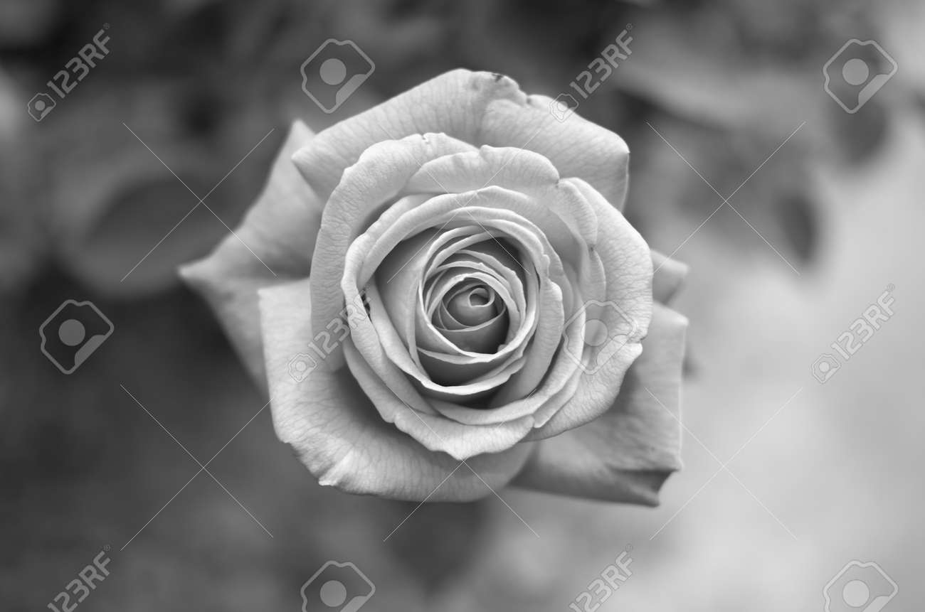 Beautiful black and white rose shot from the top stock photo 21013077