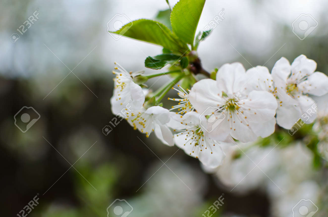 Beautiful Spring Flowers Blooming Buds And Green Leaves Stock Photo