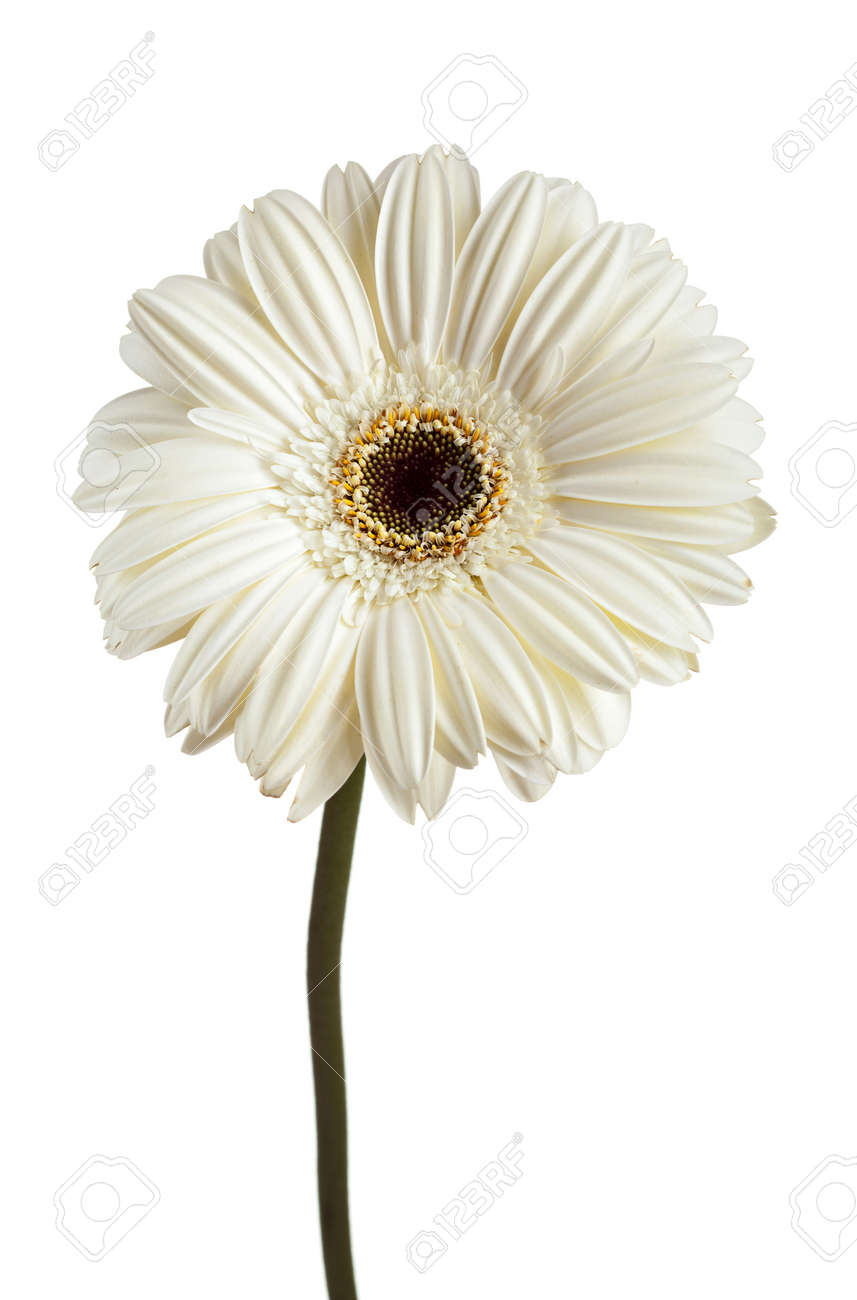 White Gerbera Daisy Over White Background Stock Photo Picture And