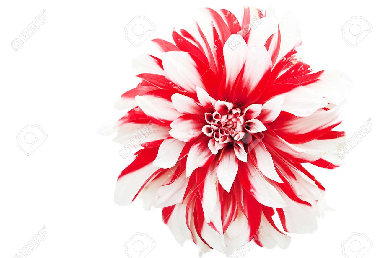 Closeup of a dahlia flower Stock Photo - 8870696