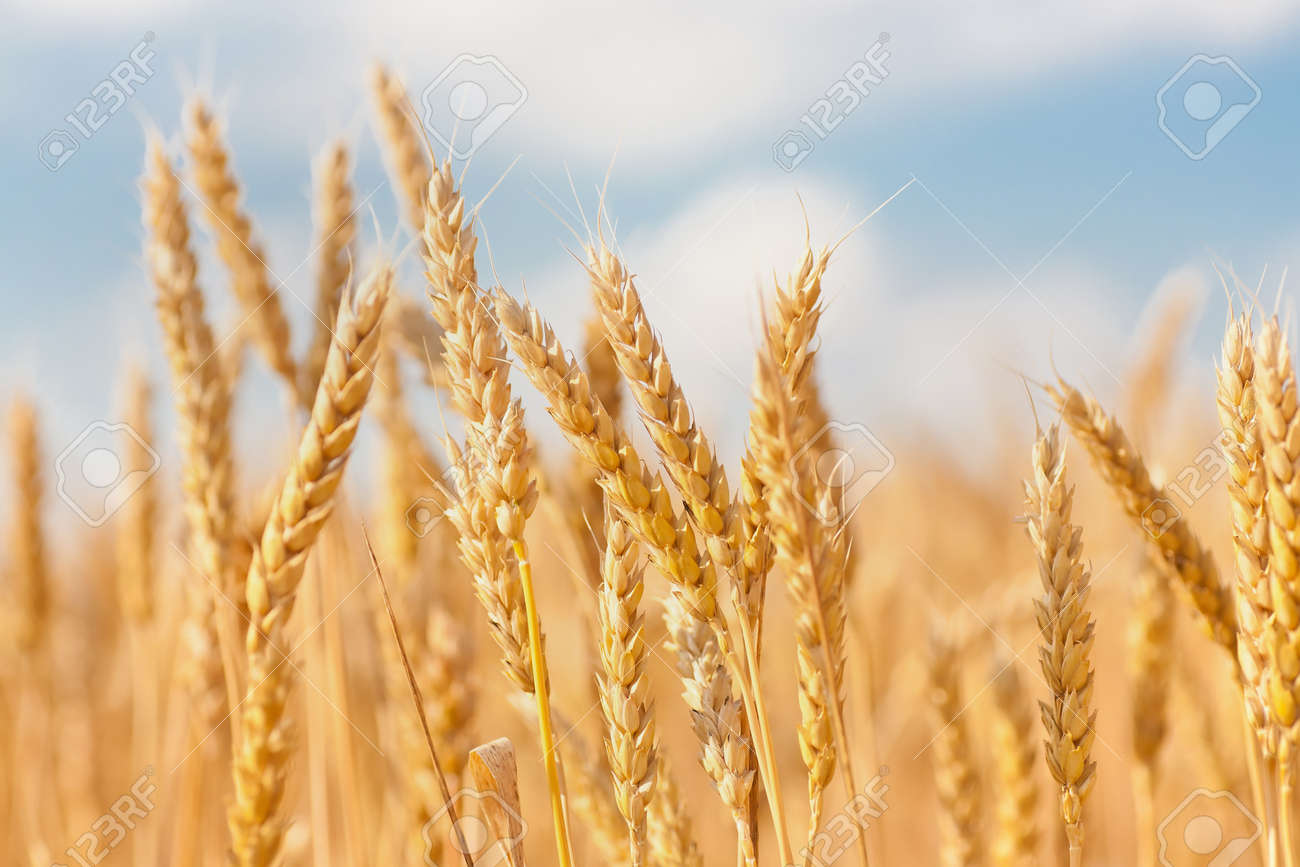 gold ears of wheat under sky. soft focus on field Stock Photo - 10129588