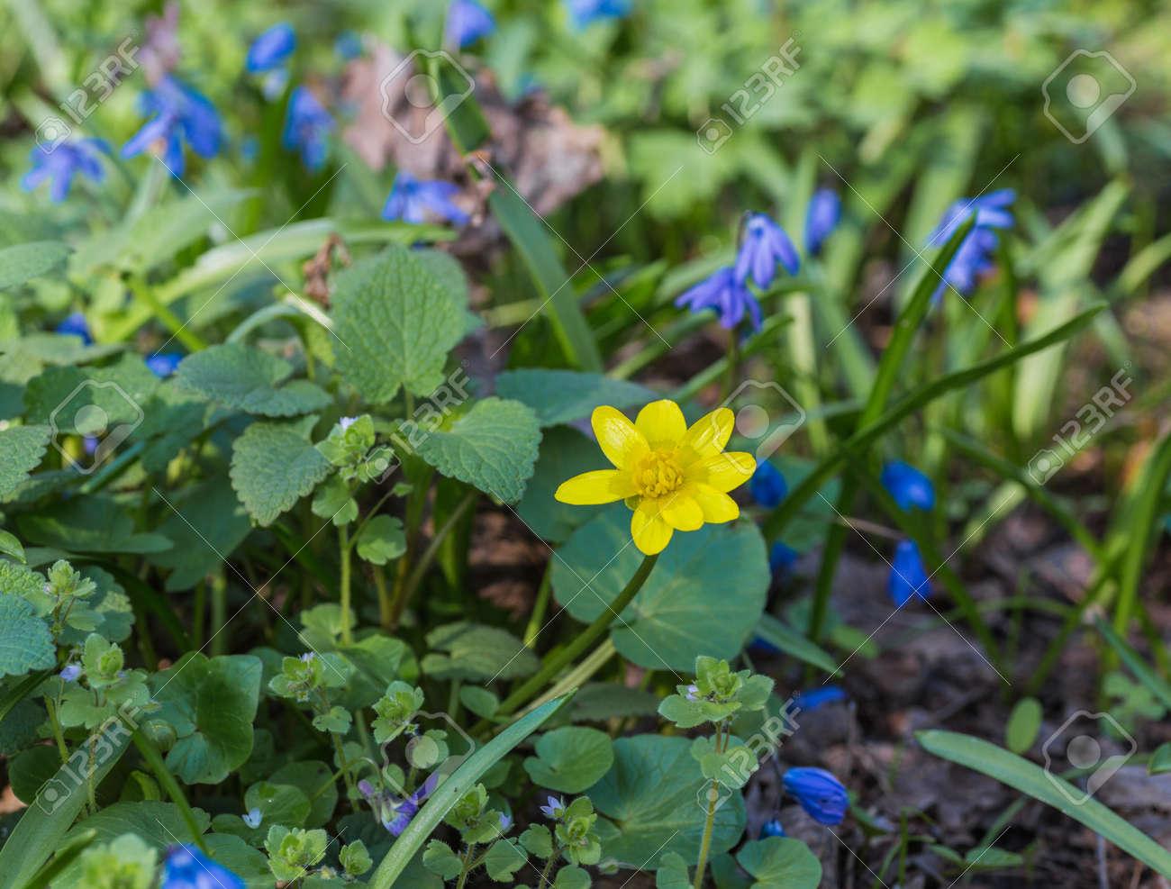 Bleu Jacinthes De Printemps Fleur Qui Pousse Dans La Foret Banque D