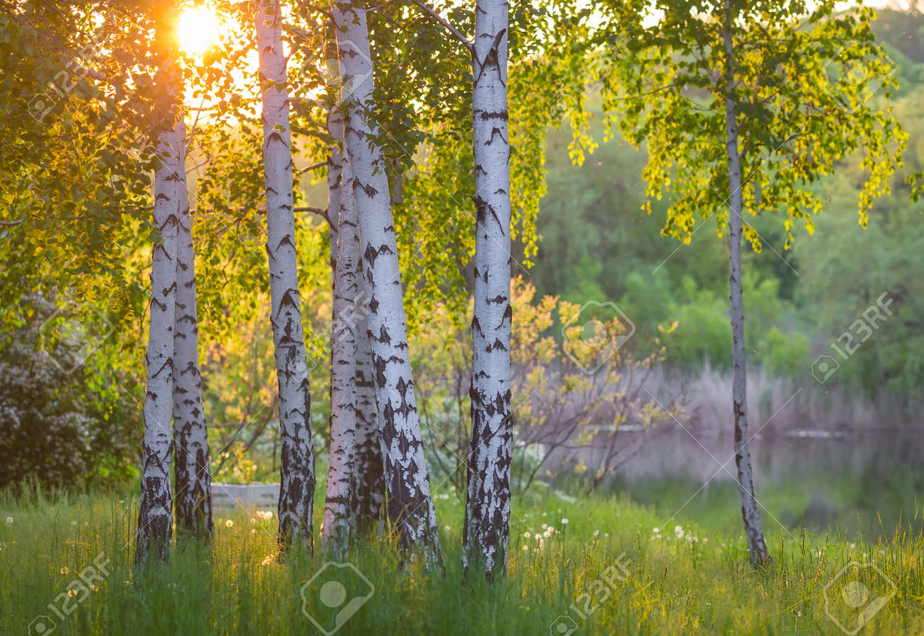 Birch Trees Stock Photos. Royalty Free Birch Trees Images