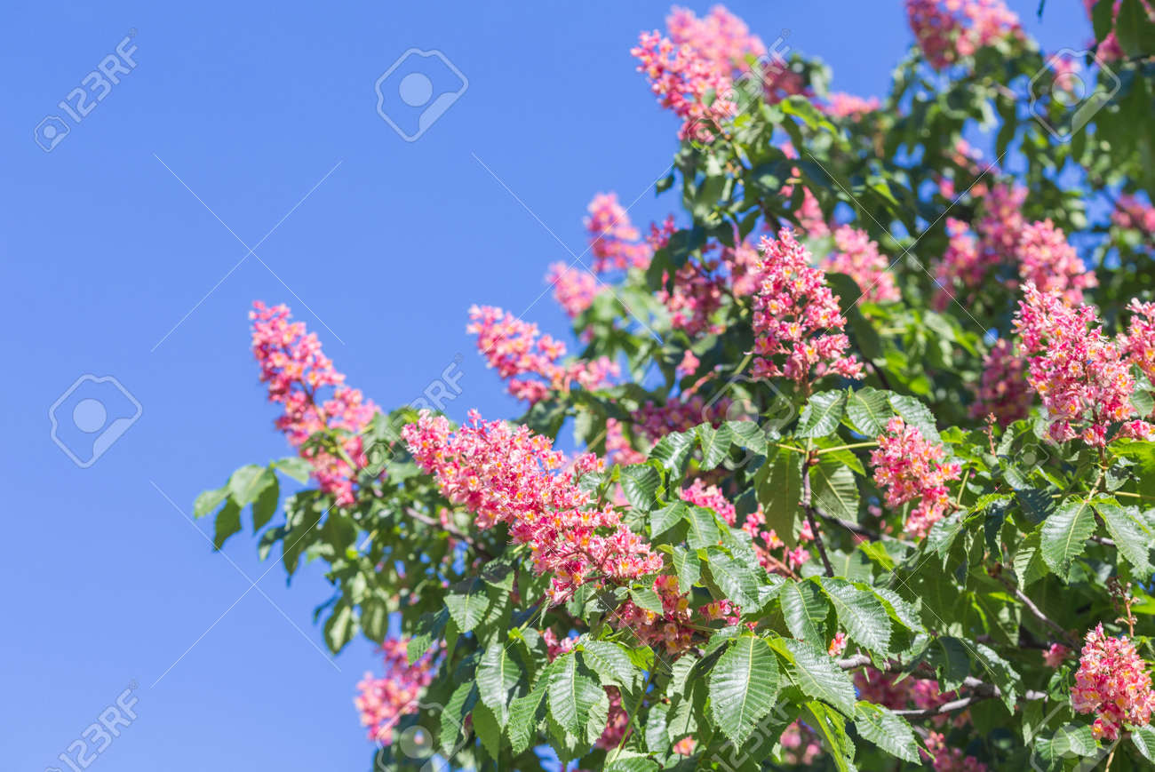 Flower Of Chestnut Tree Of Pink Flower On Tree Stock Photo