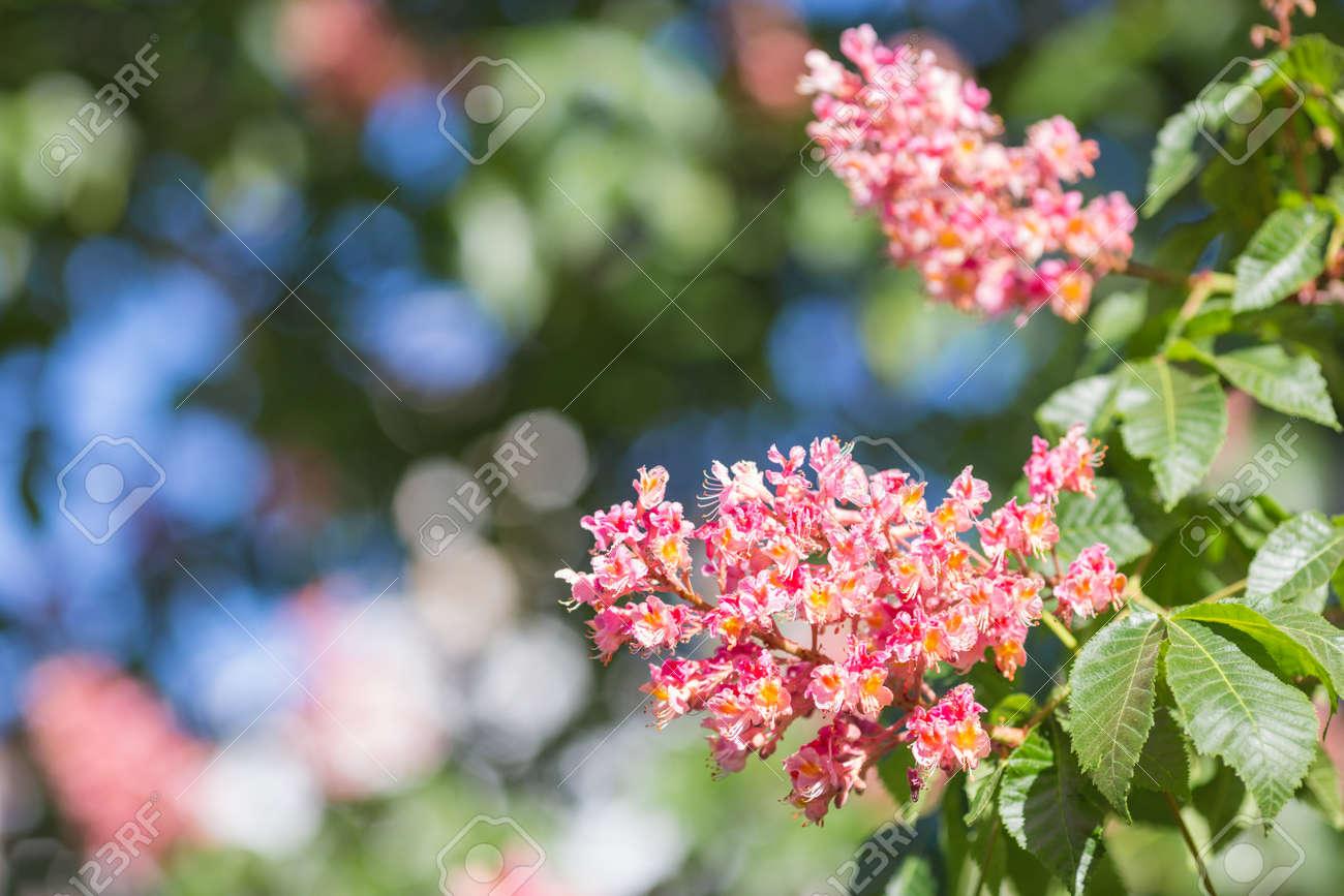 Flower of chestnut tree of pink flower on tree stock photo picture flower of chestnut tree of pink flower on tree stock photo 50285352 mightylinksfo Gallery
