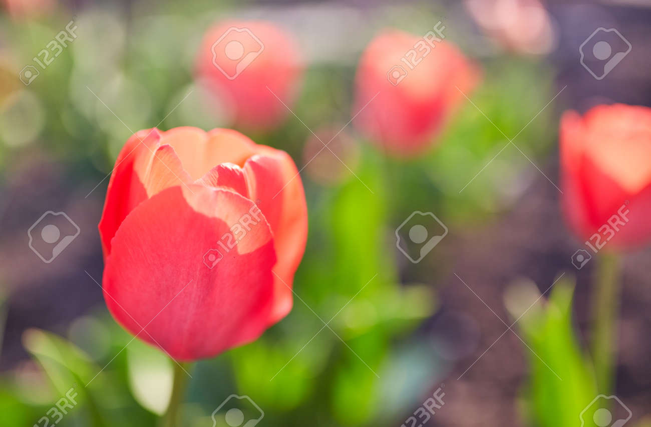 Gentle Tulip Flowers Of Red Color In Close Up On Blurred Background ...