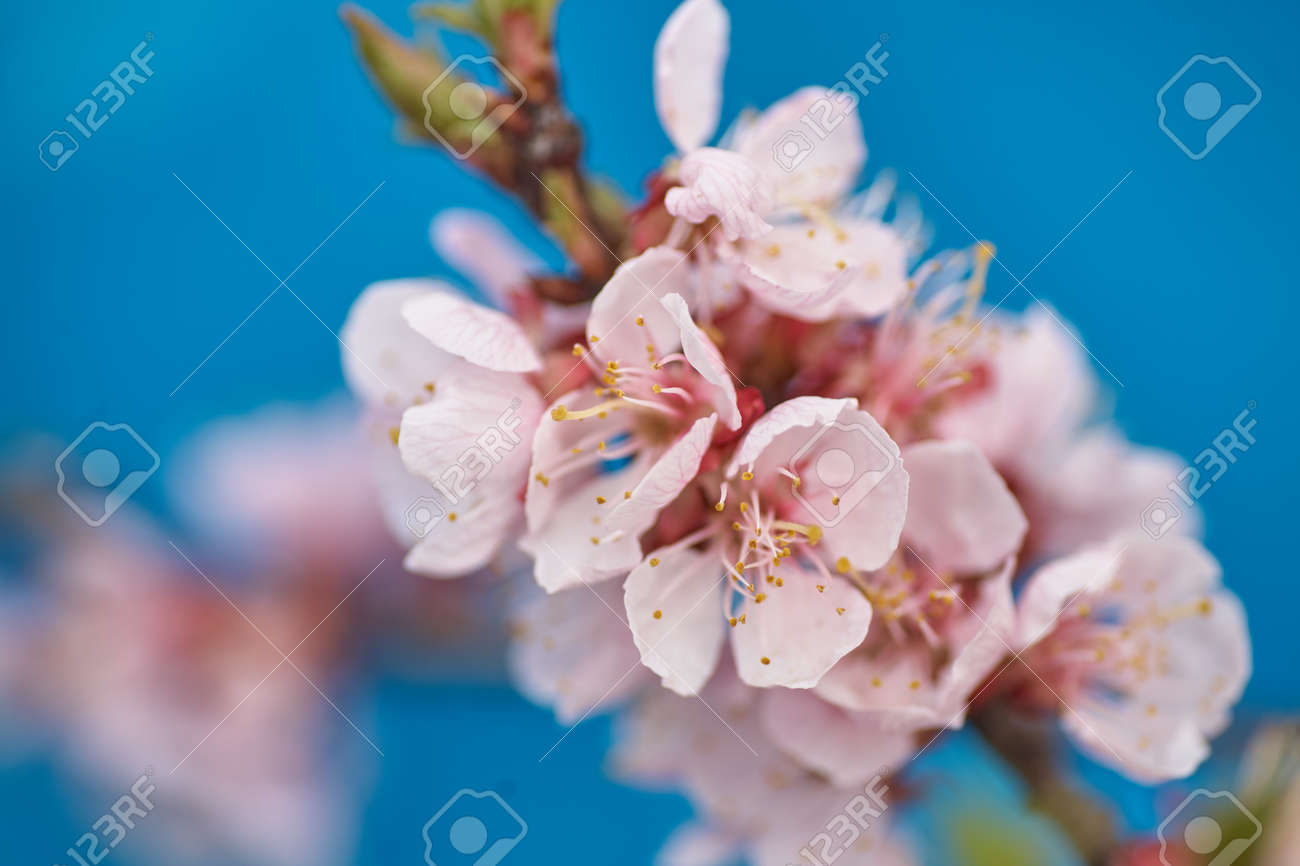 Malus Pumila Natural Lovely Pink Fragrant Spring Flowers Of