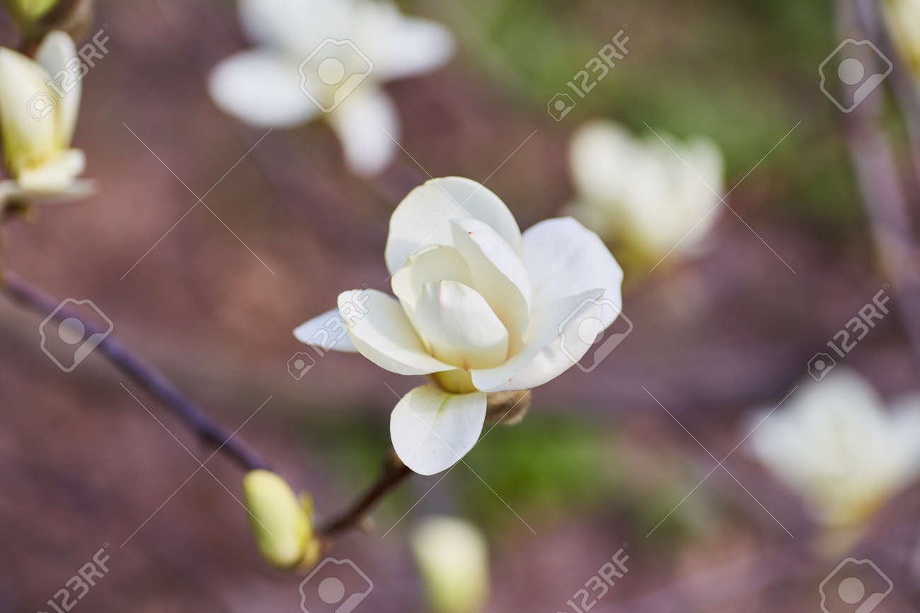 White Magnolia Flowering Background Botanical Background Magnolia
