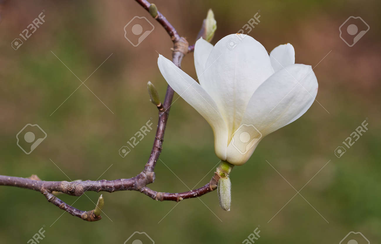 White Magnolia Flower On A Branch Of A Tree Stock Photo Picture And