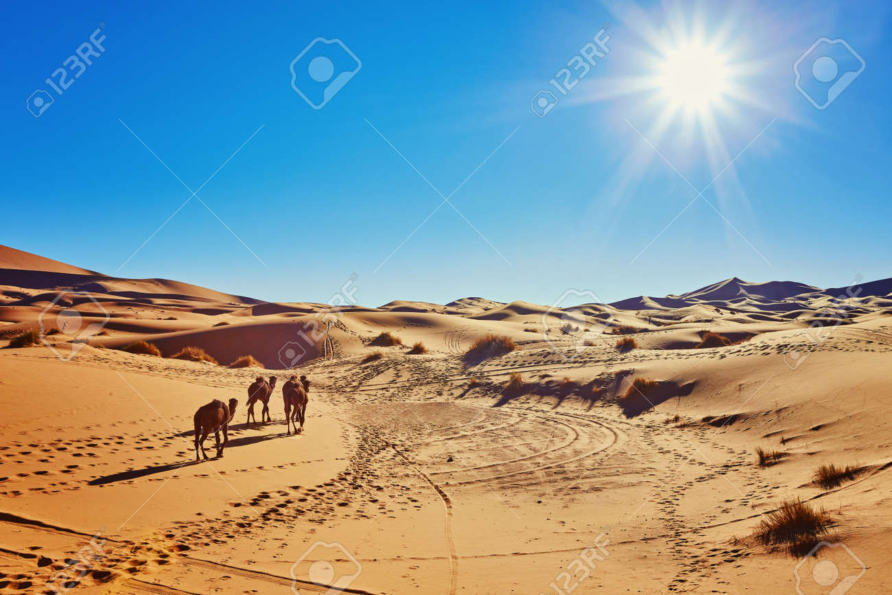 Camel in the Sahara desert in Morocco standing on a dune - 169020218