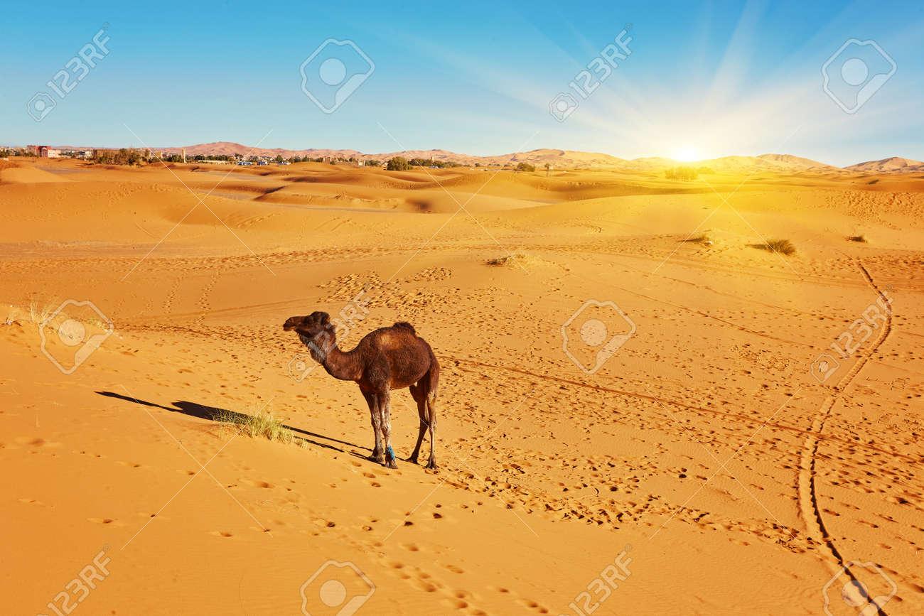 Camel in the Sahara desert in Morocco standing on a dune - 169020401