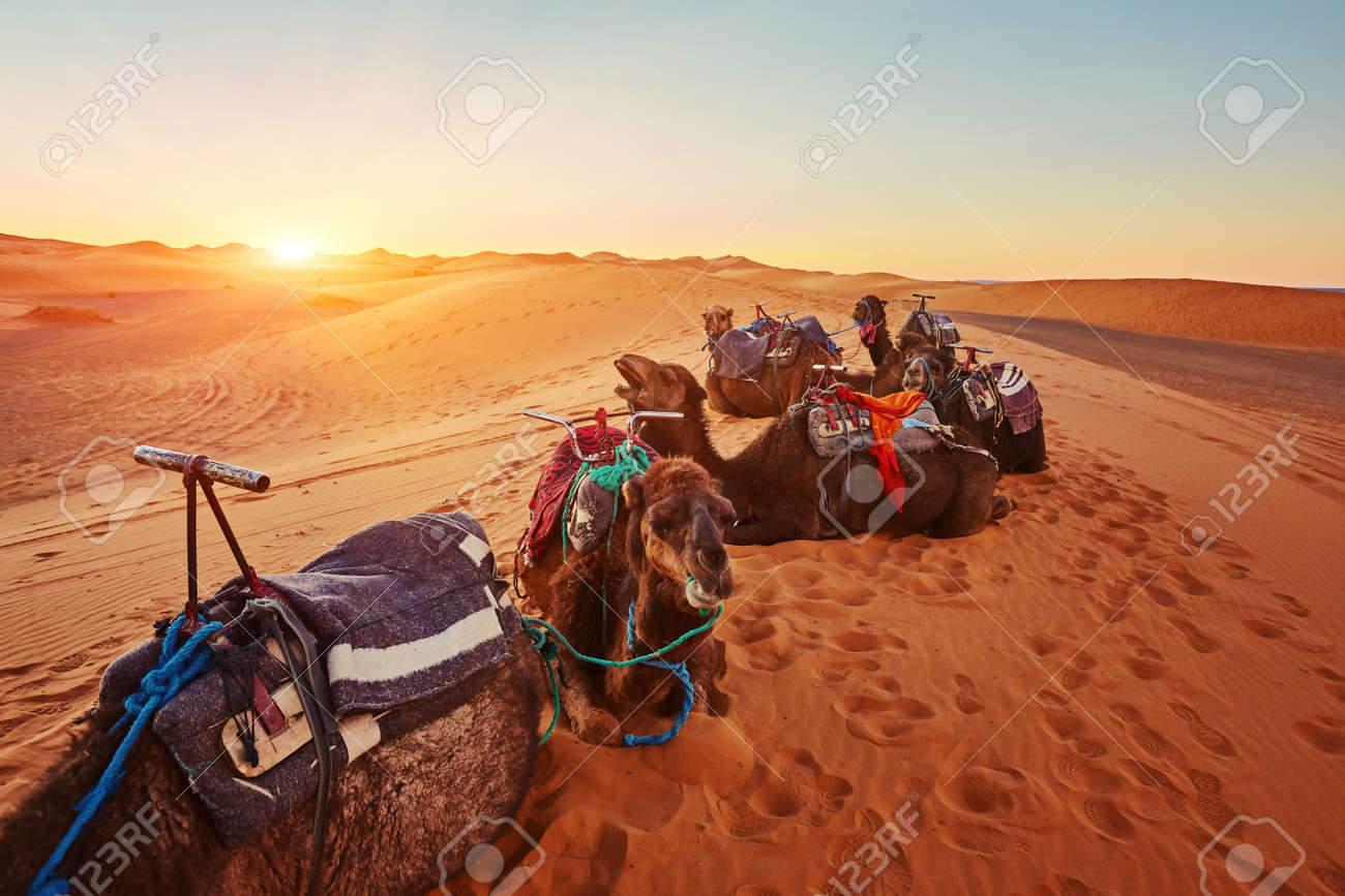 Camel in the Sahara desert in Morocco standing on a dune - 169020427