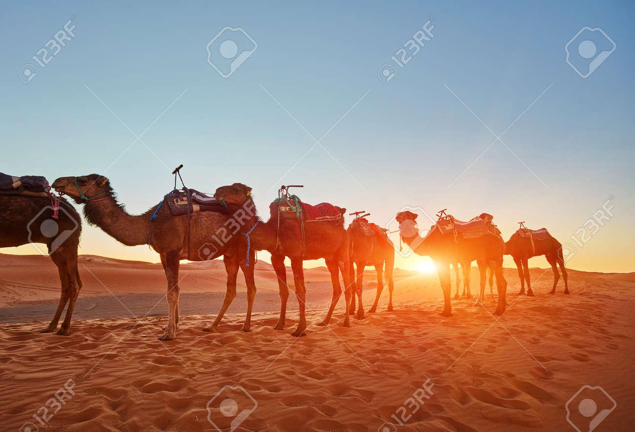Camel caravan going through the sand dunes in the Sahara Desert, Morocco. - 169020475