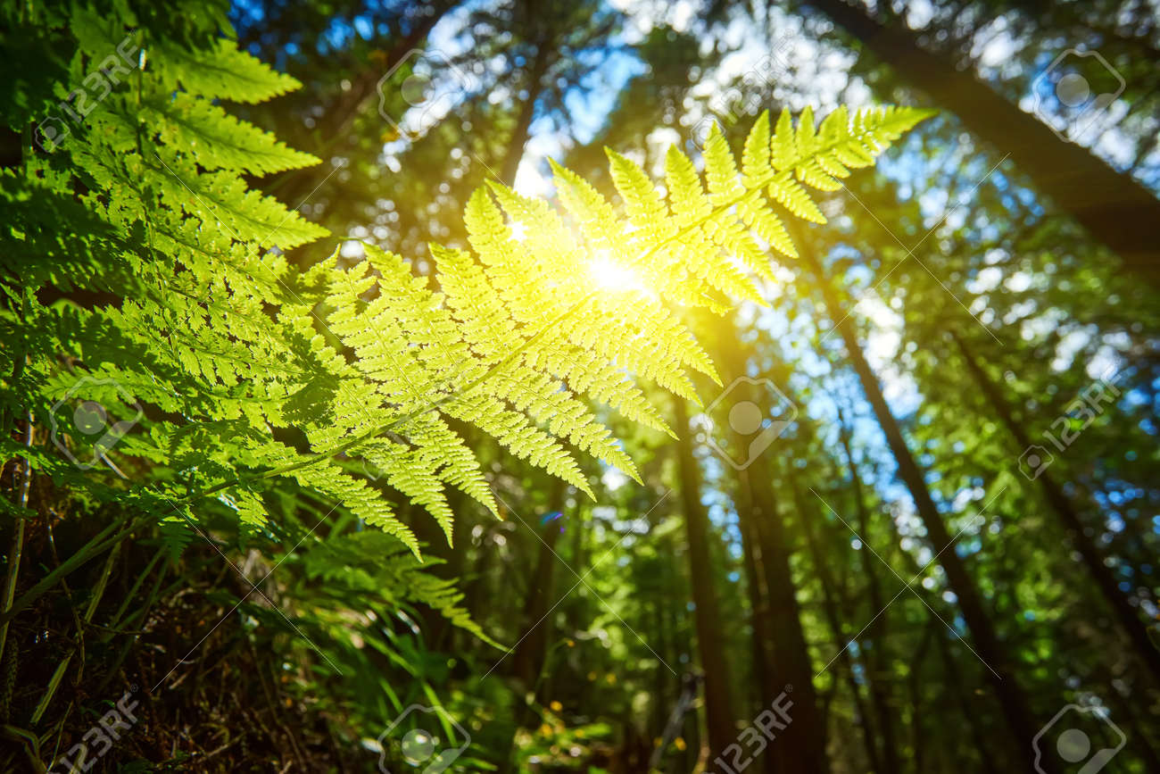 A detailed shot of a beautiful fern leaf illuminated by sunbeams. Bright spring sunbeams shine through the green leaves of ferns in the depths of a picturesque pine forest in the mountains. - 169020759