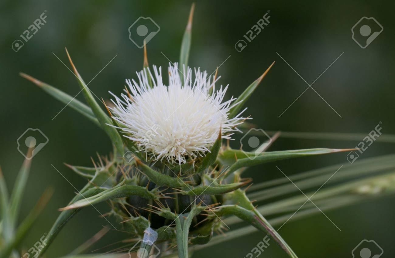 Blossoming white thistle with pink flowers stock photo picture and blossoming white thistle with pink flowers stock photo 9672665 mightylinksfo