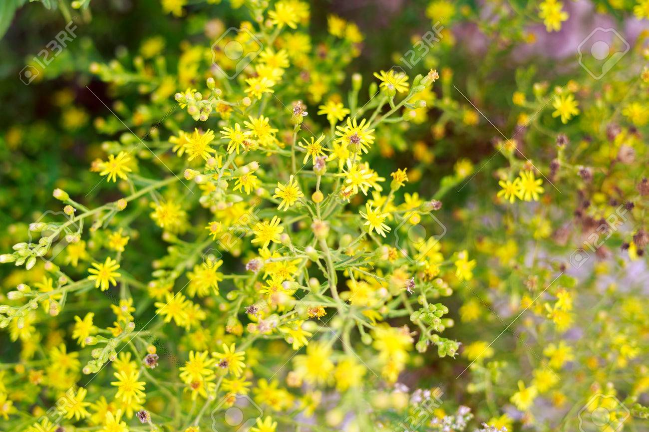 Small yellow flowers bush stock photo picture and royalty free small yellow flowers bush stock photo 32498343 mightylinksfo