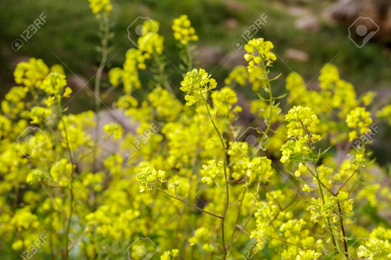 Small Bush With Beautiful Yellow Flowers Stock Photo Picture And