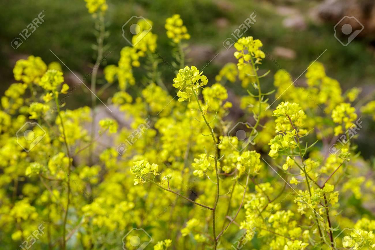 Small bush with beautiful yellow flowers stock photo picture and small bush with beautiful yellow flowers stock photo 38445313 mightylinksfo