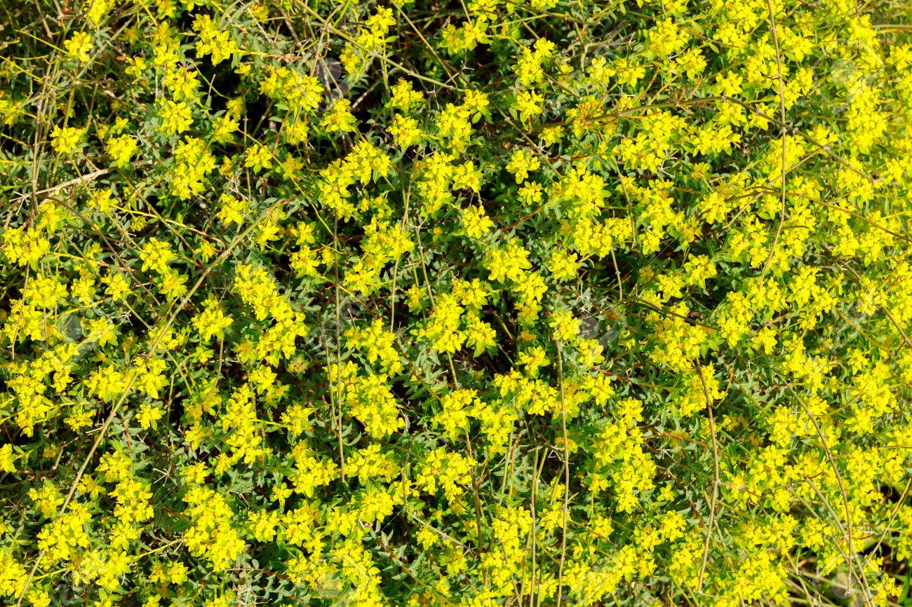 Bush with many small yellow flowers on background stock photo bush with many small yellow flowers on background stock photo 39090575 mightylinksfo Images