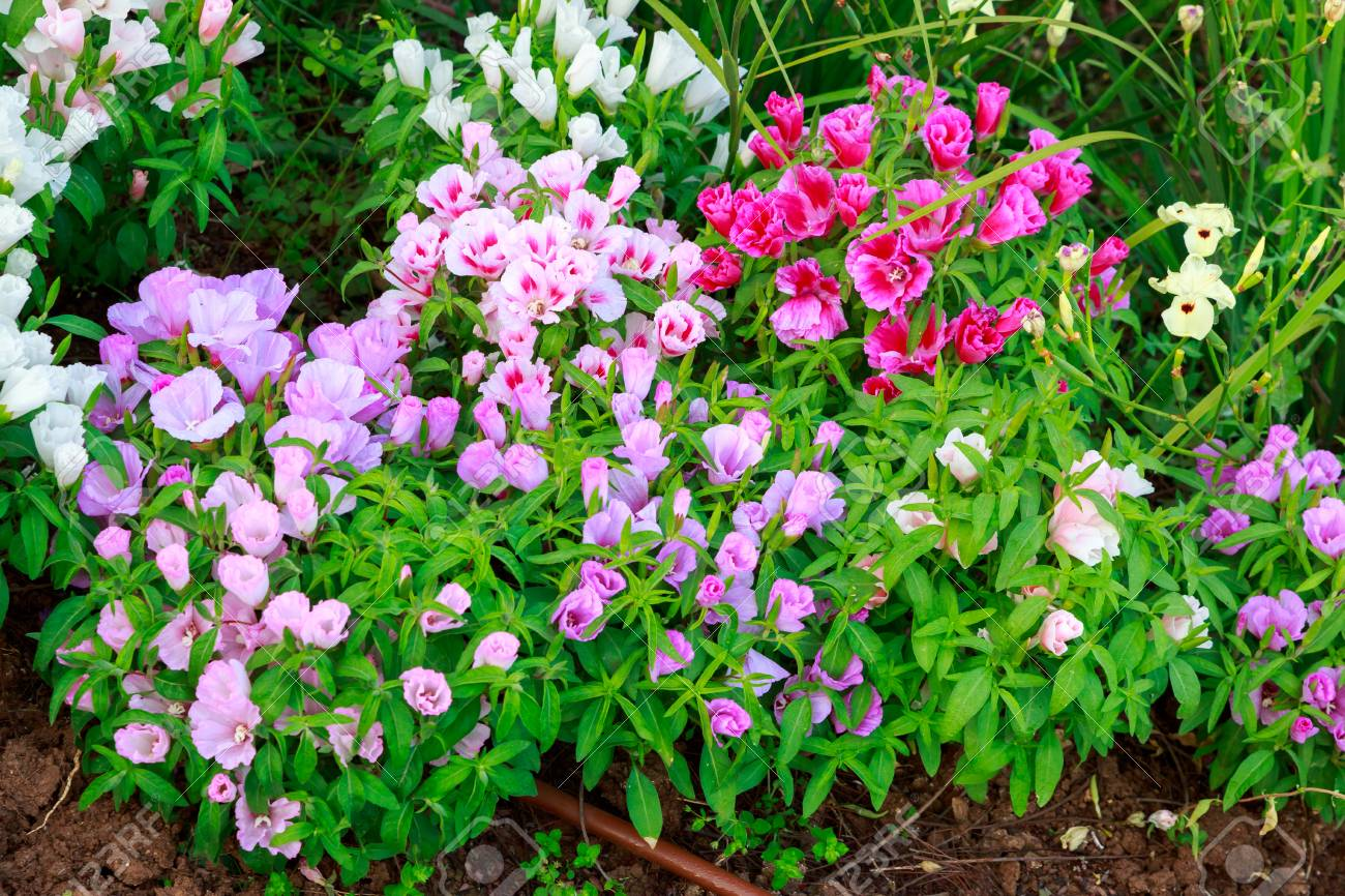 Multicolored Flower Bed With Red Violet Pink And White Flowers