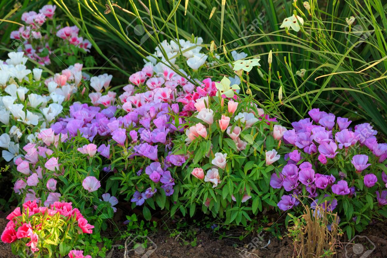 Bright Multi Colored Flowers In The Flowerbed With Red Violet