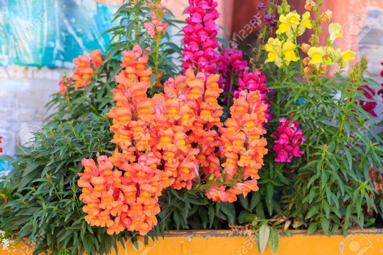 Orange Antirrhinum In Yellow Flower Box On A Blurred Background