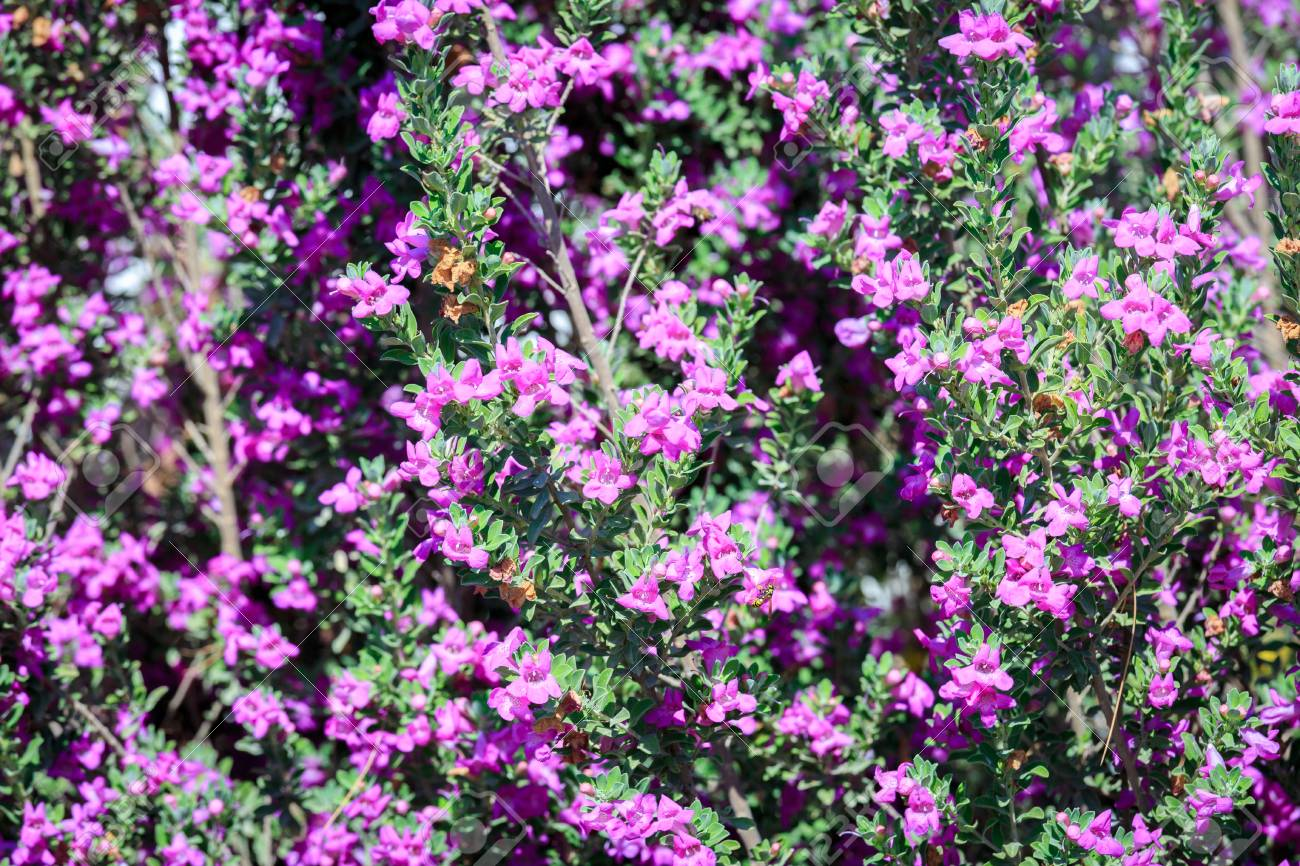 Small Pink Flowers On Bush In A Summer Garden Stock Photo Picture