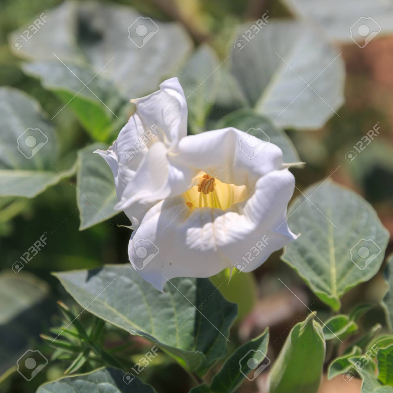 Big white poisonous datura flower on leaves background stock photo big white poisonous datura flower on leaves background stock photo 83265231 mightylinksfo