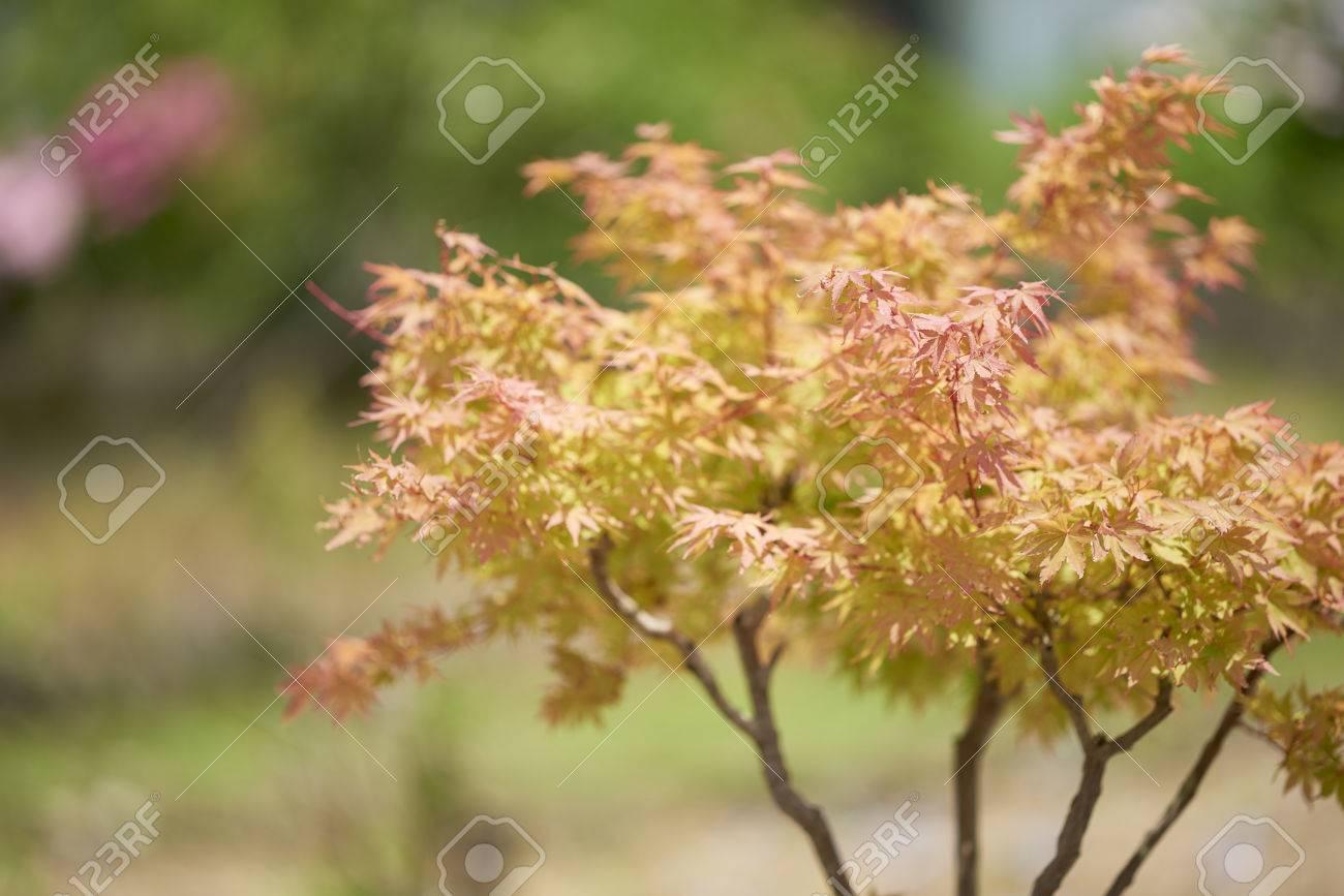 Acero Giapponese Verde un albero di acero giapponese rosso e arancione girato utilizzando una  profondità di campo per un effetto artistico con uno sfondo sfocato verde.