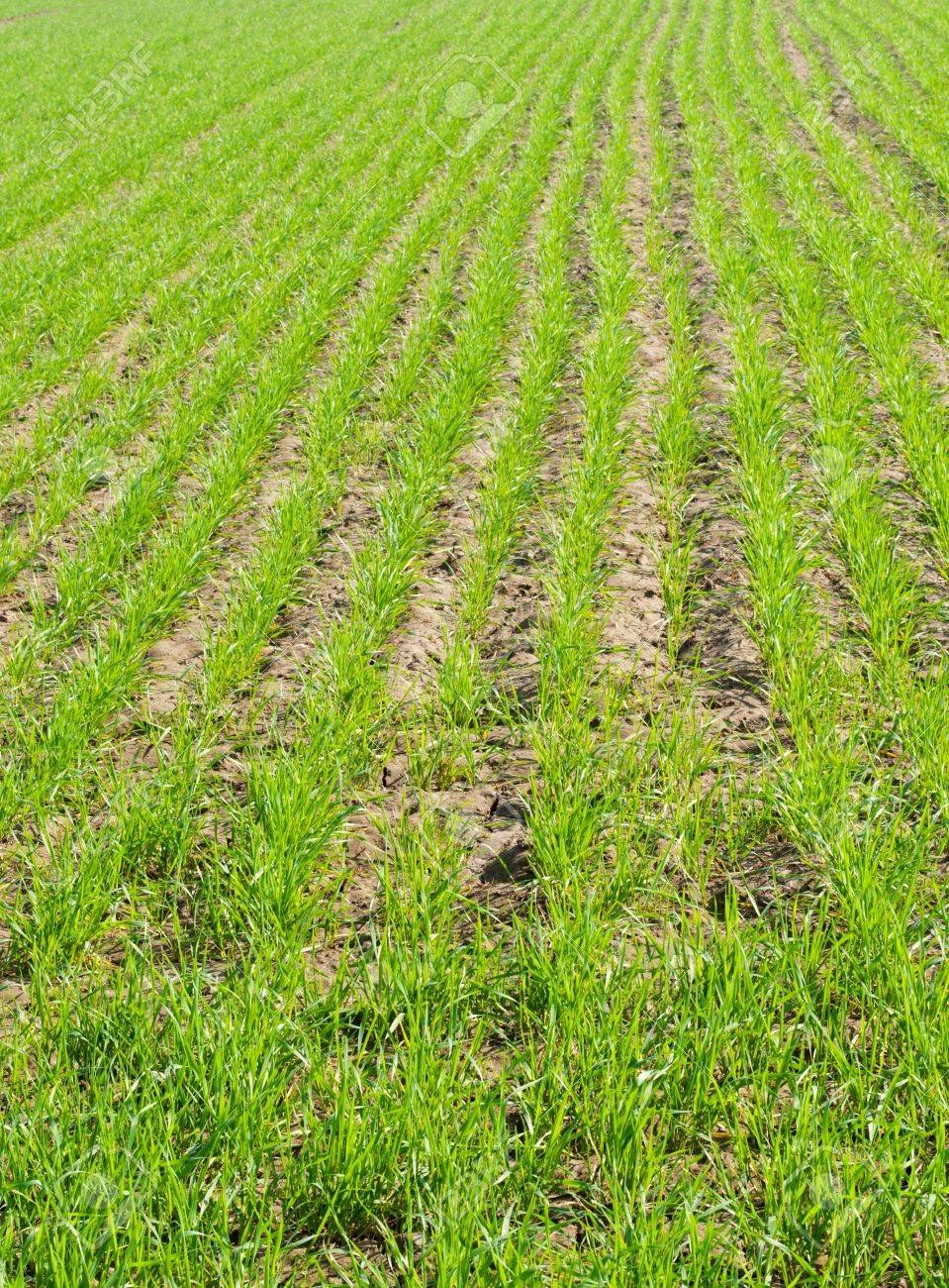 farm with row of nascent wheat plant Stock Photo - 16740490
