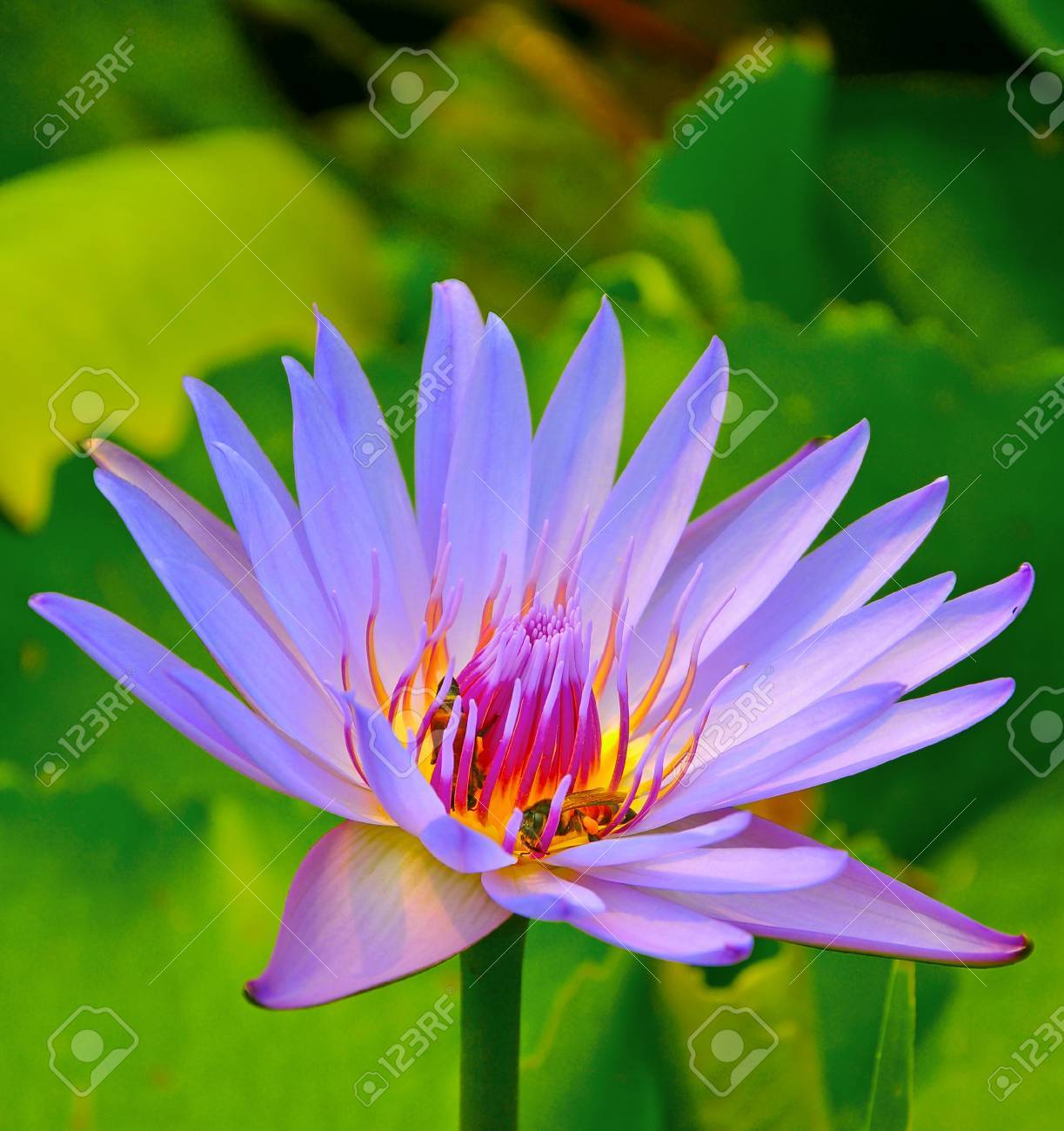 Close Up Of Purple Blue Lotus Flower Stock Photo Picture And