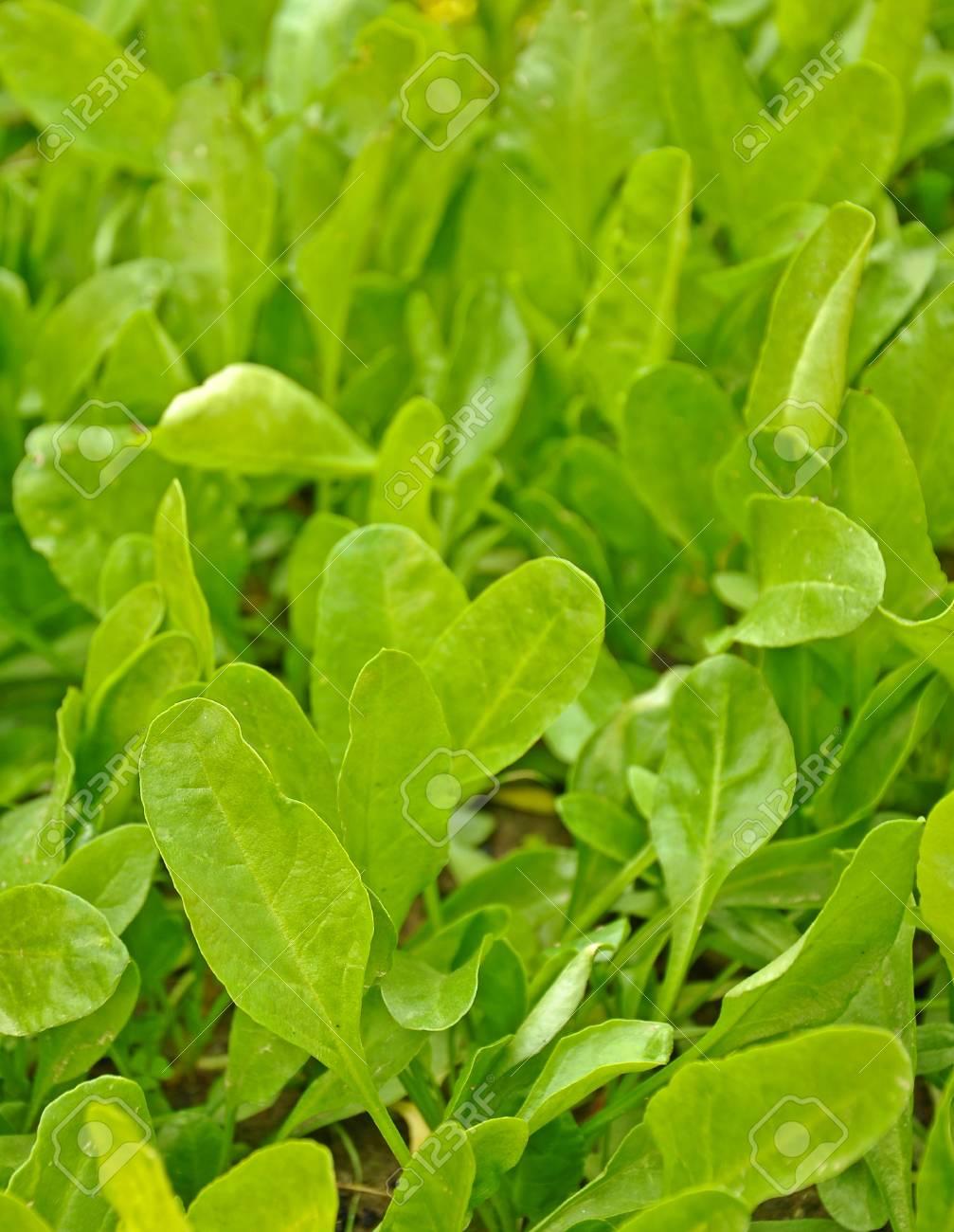 green spinach in farm Stock Photo - 16877278