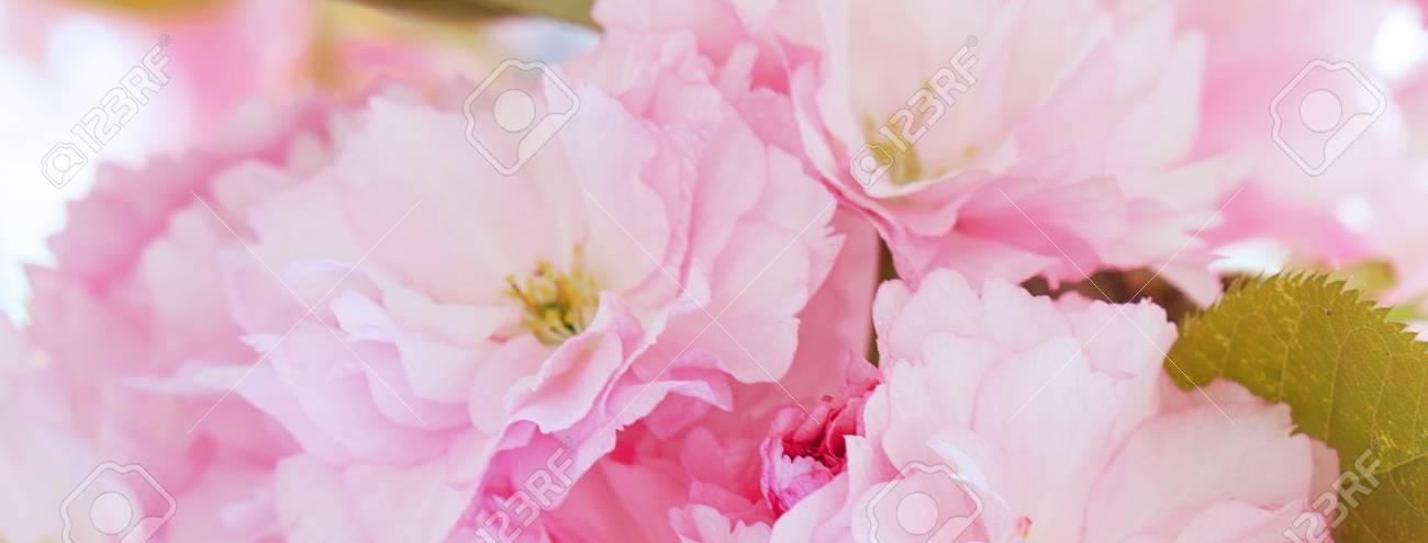 Banner of spring cherry blossoms sakura pink flowers cover stock banner of spring cherry blossoms sakura pink flowers cover template for social networks stock mightylinksfo