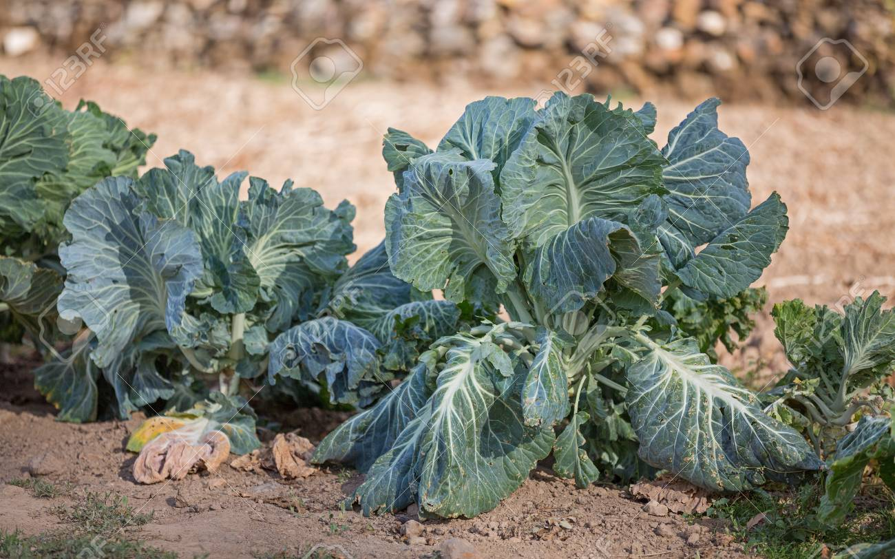 cabbages in the ground with shallow depth of field Stock Photo - 15900652