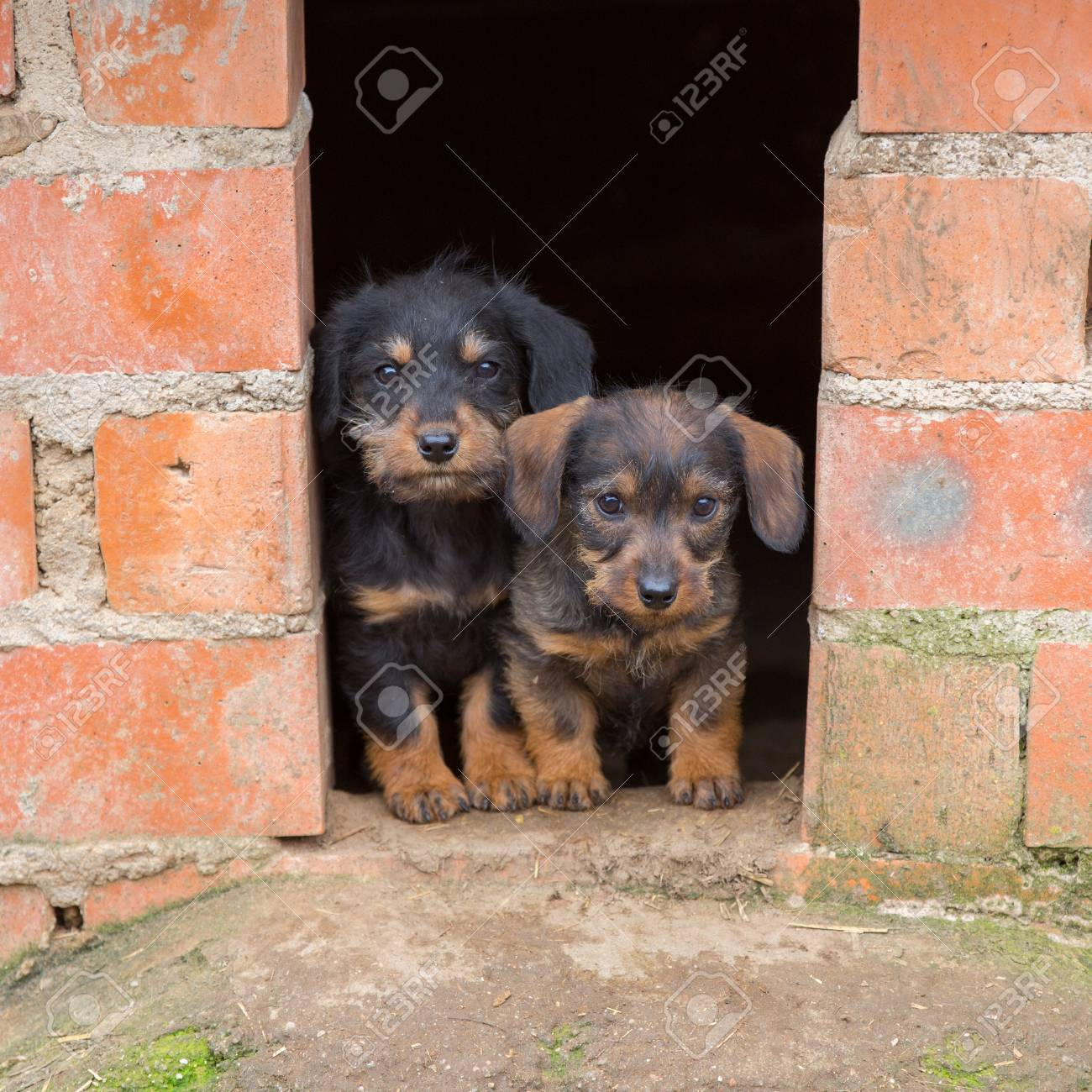 Closeup Of Baby Dachshund Puppies At Home S Door Stock Photo Picture And Royalty Free Image Image 21166983