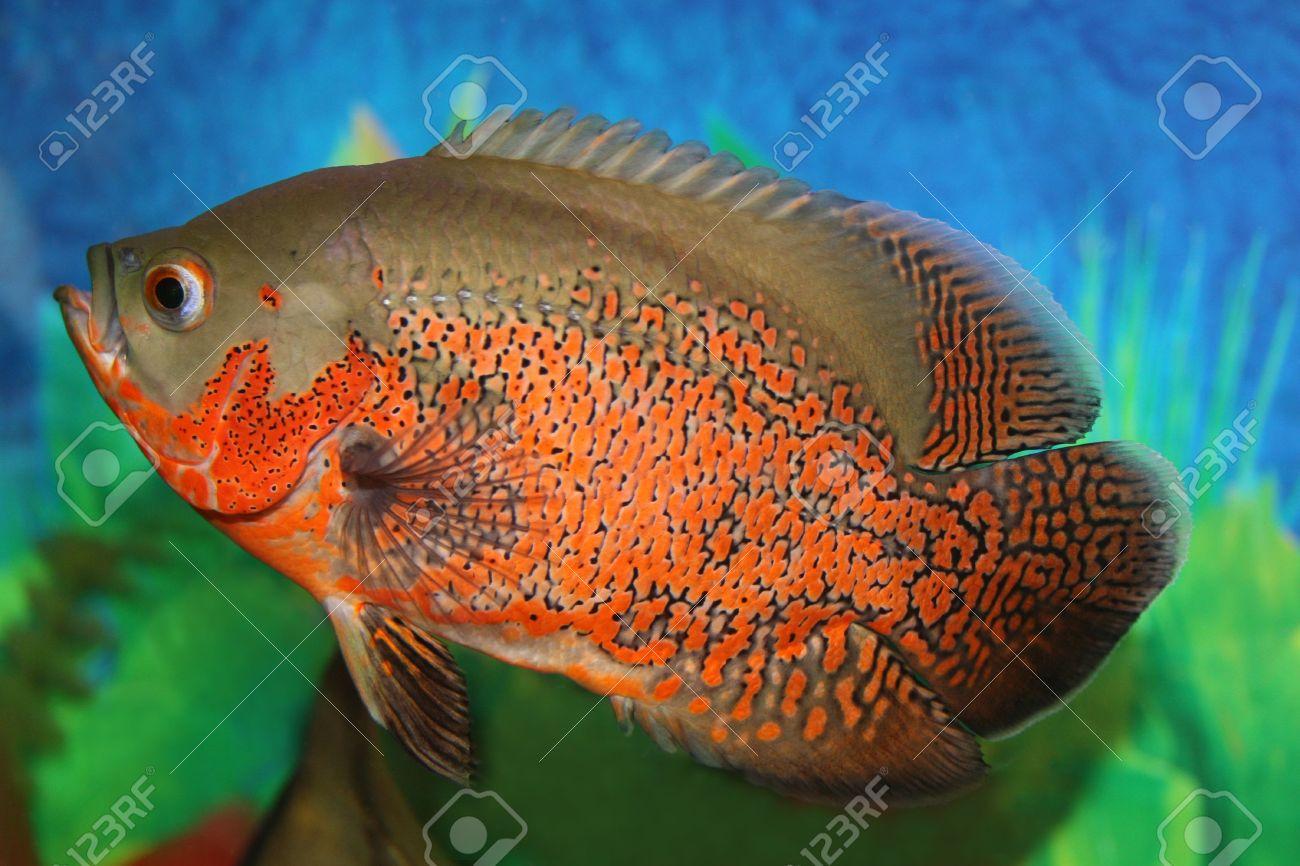 Fish aquarium oscar - Stock Photo Tiger Oscar Fish