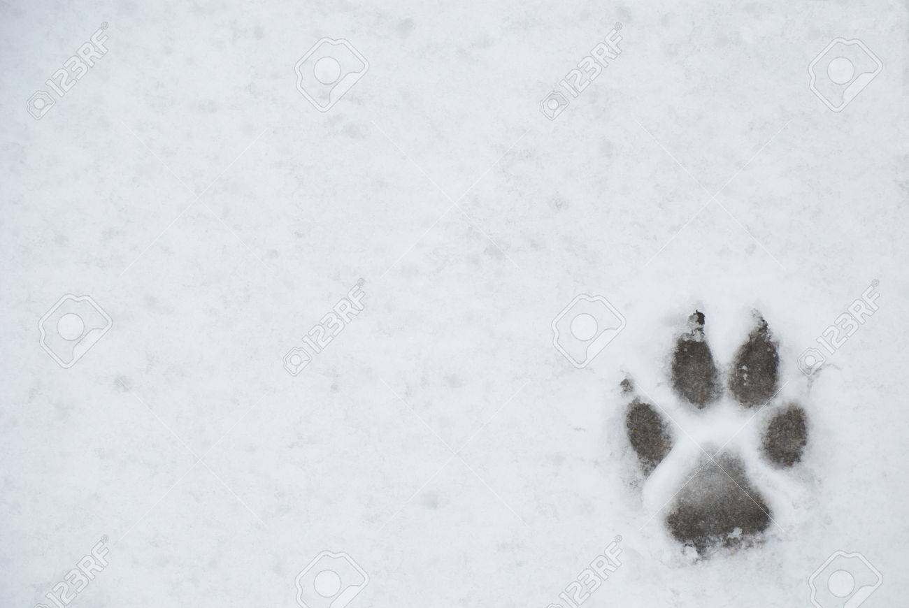 Dog Foot Print In A Snow Photo For Backgroung Stock Photo Picture And Royalty Free Image Image 71021340