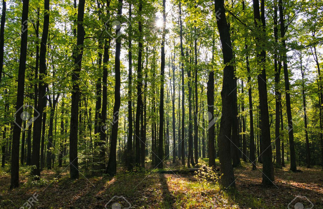 Spring forest - 148005783
