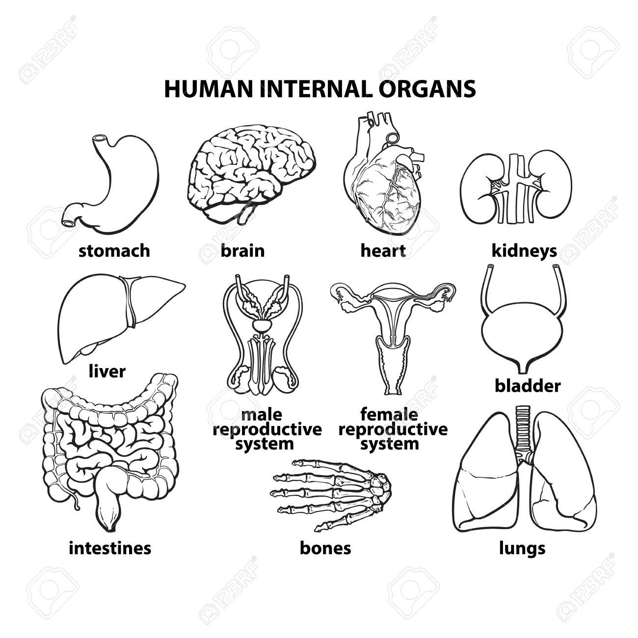 Human Organs Internal Organs Set Human Anatomy Internal Parts