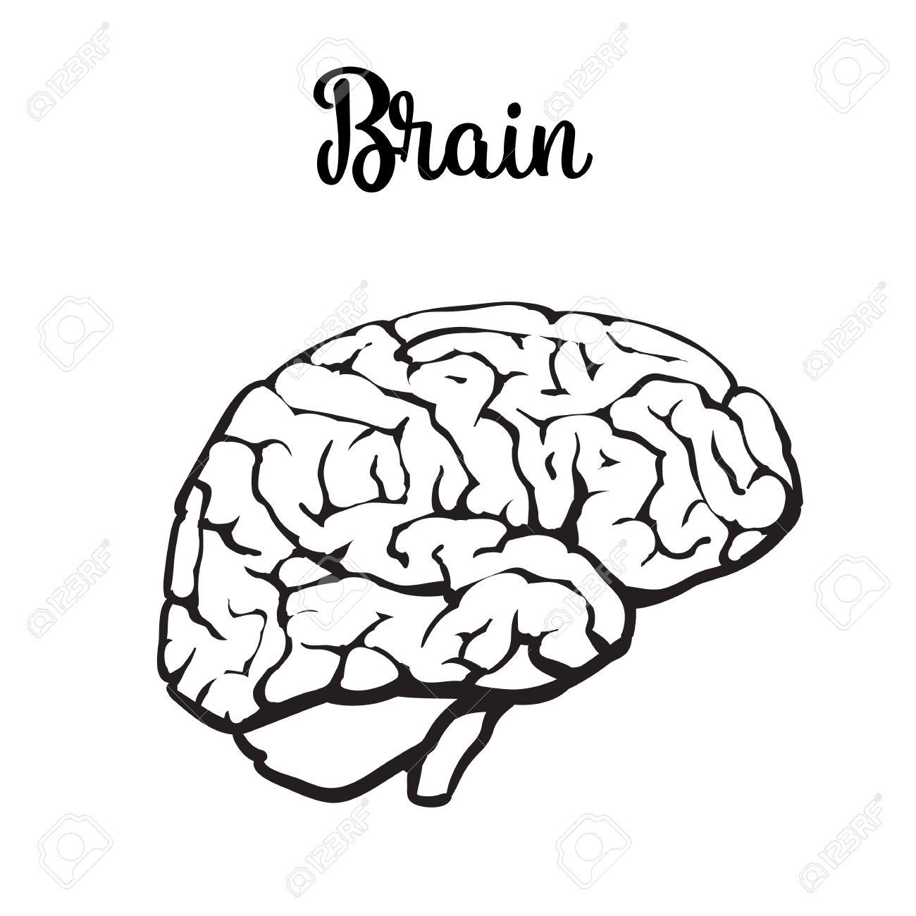 Cerebro Humano, Ilustración Vectorial Dibujo De Un Cerebro Aislado ...