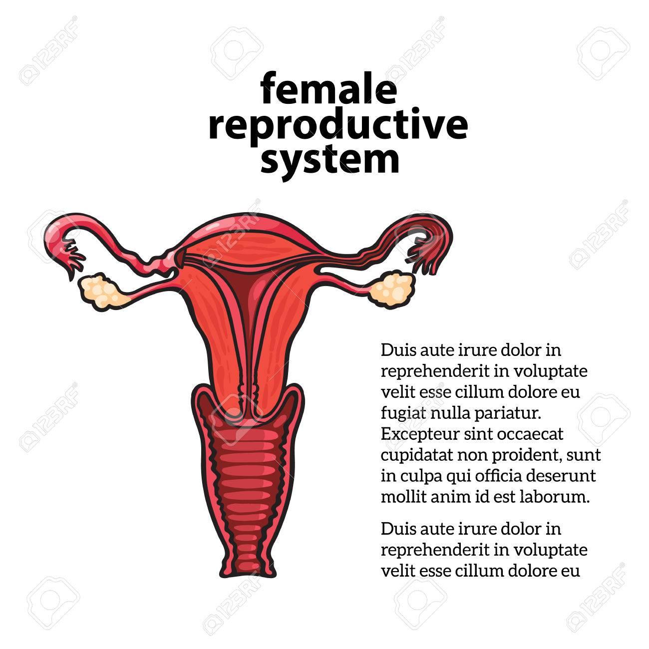 Sistema Reproductivo Femenino, Dibujo Vectorial Ilustración De Mano ...