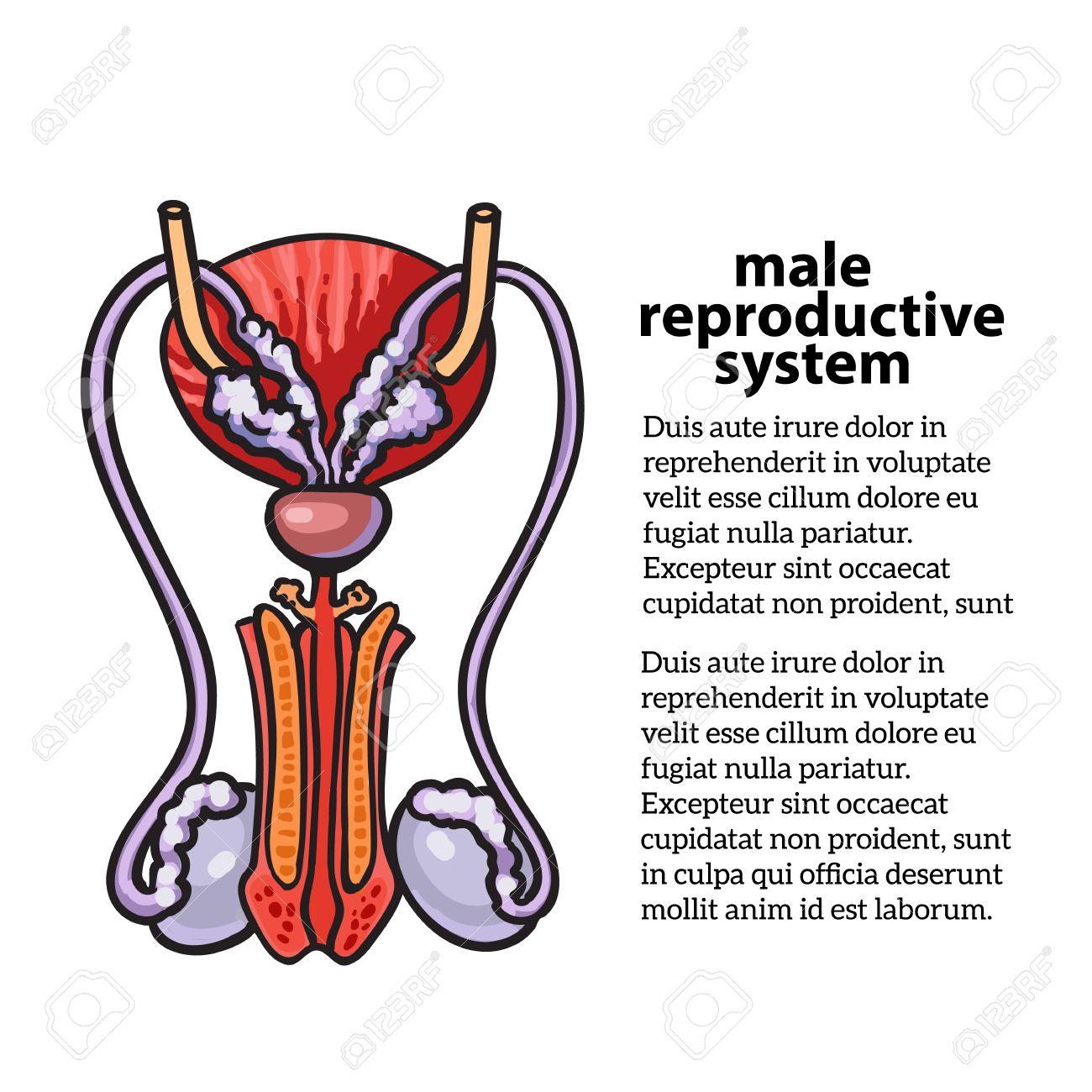 Männliche Fortpflanzungssystem, Skizze Von Hand Gezeichnete ...