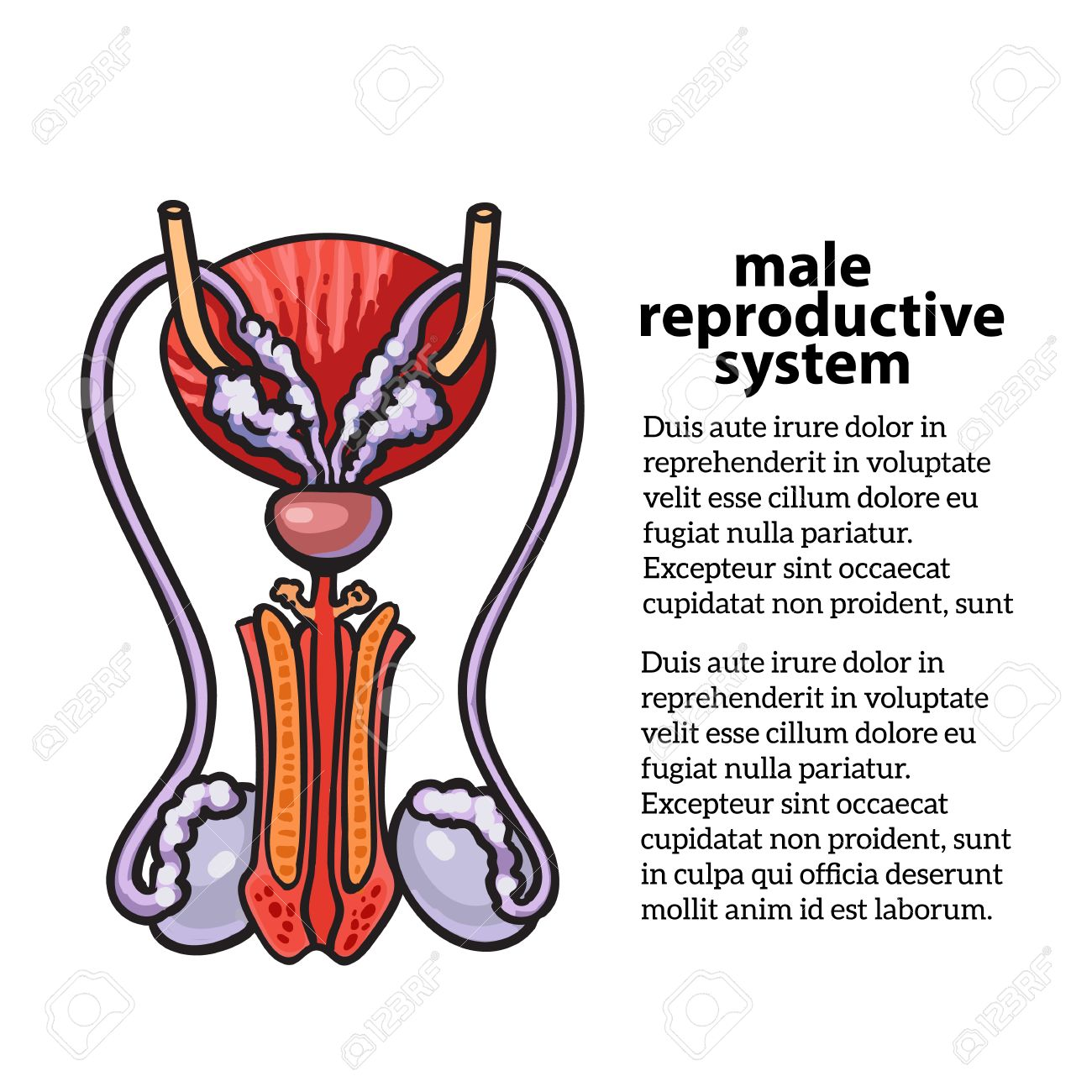 Male Reproductive System Sketch Hand Drawn Illustration Isolated
